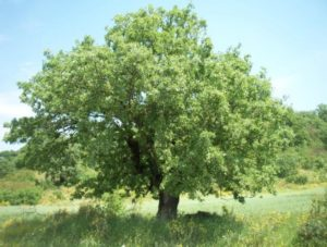 wp2_gr_valonia_oak_system_description