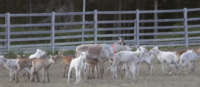 Reindeer Husbandry in Central Sweden
