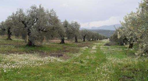 Olive Agroforestry in Molos, Central Greece