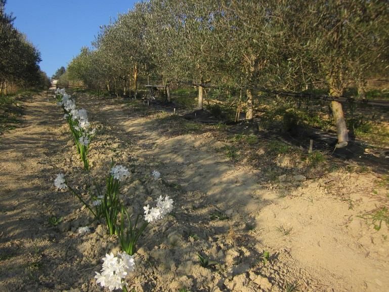 wp3_i_olives_intercropping_system_description
