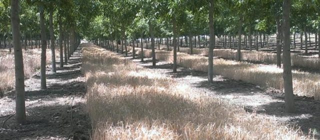 Cereal Production beneath Walnut in Spain