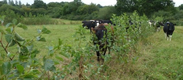 Agroforestry for Ruminants in England