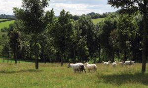 Benefits of trees on livestock farms