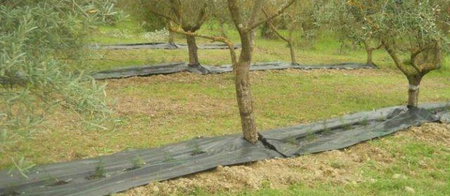 Consociazioni tra colture agrarie e pascolo in uliveti, Italia