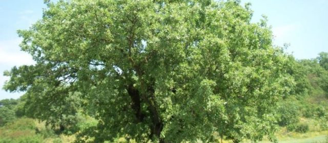 Valonia Oak Silvopastoral Systems in Greece