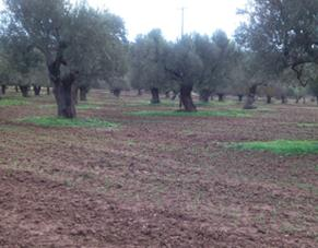 Olive Agroforestry in Kassandra, Chalkidiki, Greece