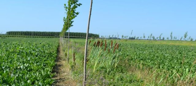 Trees for Timber with Arable Crops in Italy