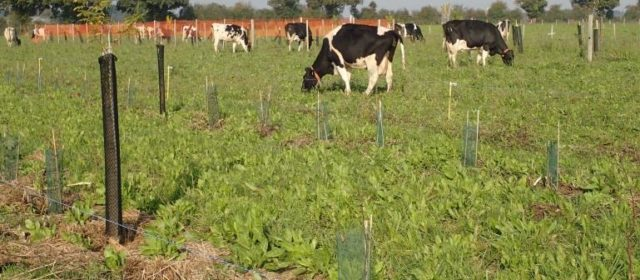Agroforestry for Ruminants in France