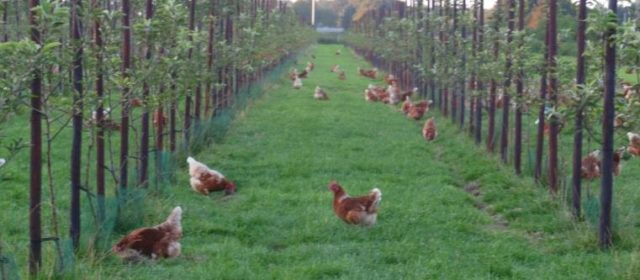 Agroforestry for   Organic Egg Production in the Netherlands