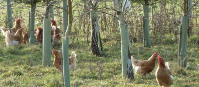 Poultry Agroforestry in the UK